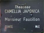 Camellia japonica 'Monsieur Faucillon'