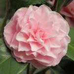Camellia japonica 'Frau Minna Seidel'
