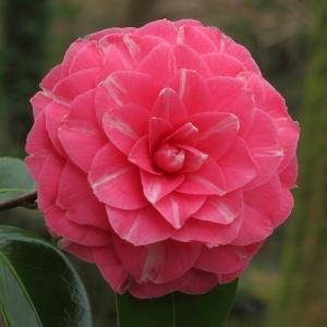 Camellia japonica 'Rubens'