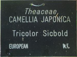 Camellia japonica 'Tricolor Siebold'