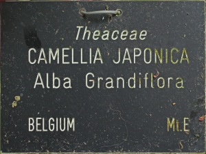 Camellia japonica 'Alba Grandiflora'