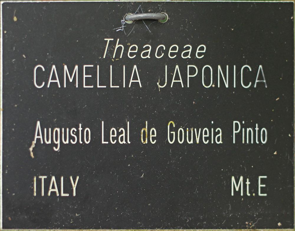 Camellia japonica 'Augusto Leal de Gouveia Pinto'