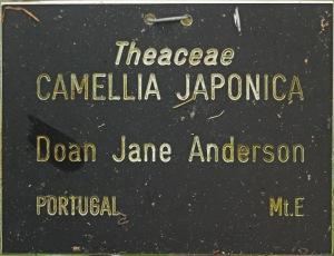 Camellia japonica 'Dona Jane Andresen'