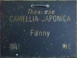 Camellia japonica 'Fanny'