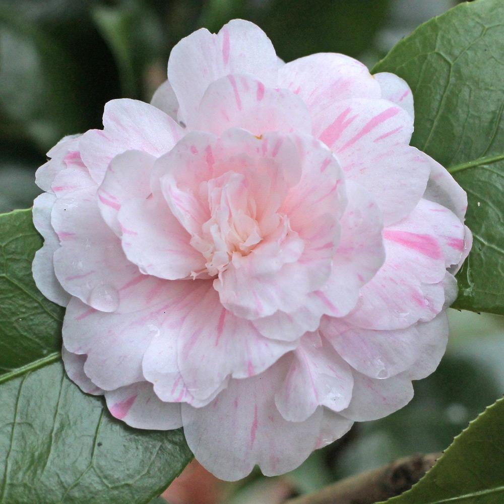 Camellia japonica 'General Lamoriciere'