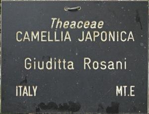 Camellia japonica 'Giuditta Rosani'