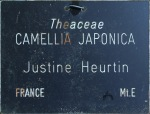 Camellia japonica 'Justine Heurtin'