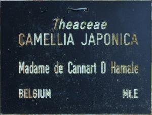 Camellia japonica 'Madame de Cannart d'Hamale'