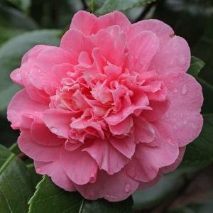 Camellia japonica 'Madame Martin Cachet'