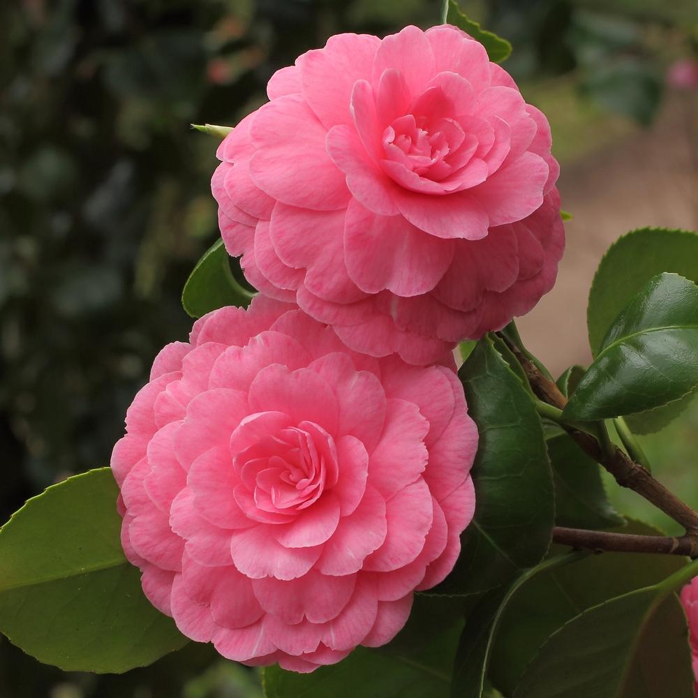 Camellia japonica 'Marguerite Gouillon Rose'
