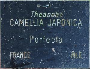 Camellia japonica 'Perfecta'