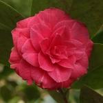 Camellia japonica 'Rafia'