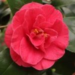 Camellia japonica 'Visconti Nova'