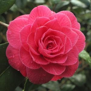 Camellia japonica 'Rubescens Major'