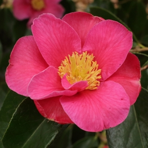 Camellia x williamsii 'Carolyn Williams'