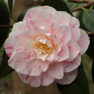 Camellia x williamsii 'China Clay'