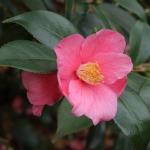 Camellia hybrid 'Cornish Spring'