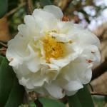 Camellia x williamsii 'E T R Carlyon'