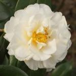 Camellia x williamsii 'E T R Carlyon' (9-007)