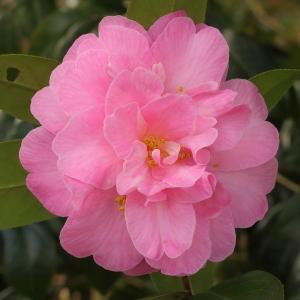 Camellia x williamsii 'Gwavas'