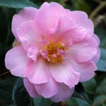 Camellia x williamsii 'Jenefer Carlyon'