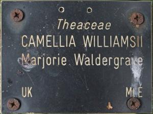 Camellia x williamsii 'Marjorie Waldegrave'