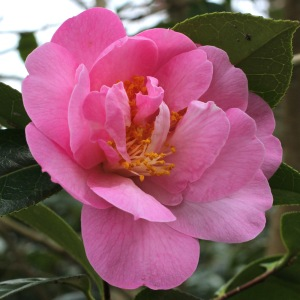 Camellia x williamsii 'Rose Quartz'