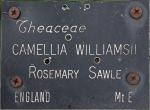 Camellia hybrid 'Rosemary Sawle'