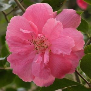 Camellia hybrid 'Rosemary Sawle' (9-018)