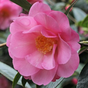 Camellia x williamsii 'The Duchess of Cornwall'