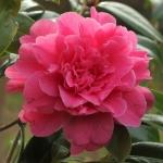 Camellia hybrid 'Tristrem Carlyon'
