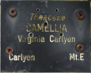 Camellia japonica 'Virginia Carlyon'
