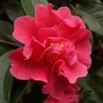 Camellia reticulata 'Baozhu Cha'