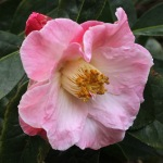 Camellia hybrid 'Blissful Dawn'