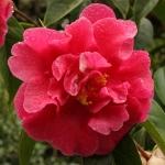 Camellia reticulata 'Dataohong'