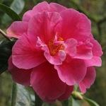 Camellia reticulata 'Dayinhong'