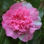 Camellia hybrid 'Diamond Head'