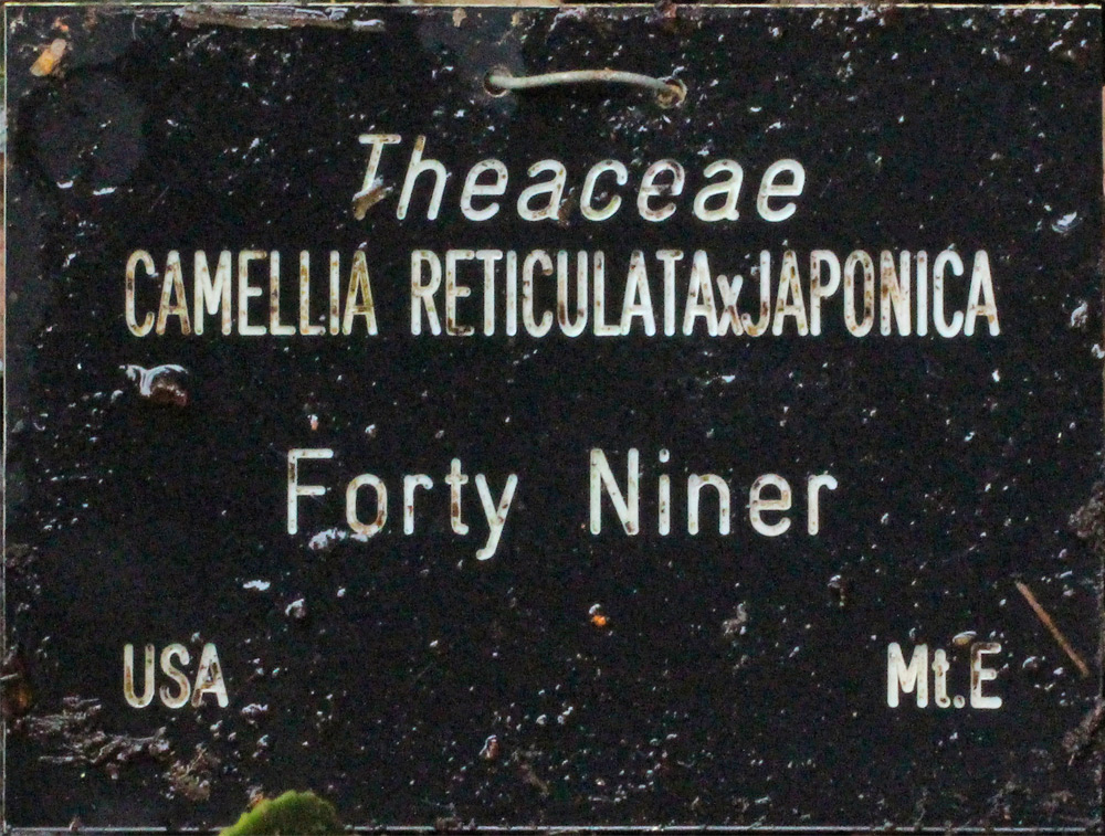 Camellia hybrid 'Forty Niner'