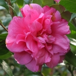 Camellia hybrid 'Innovation'