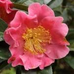 Camellia reticulata 'Mouchang'