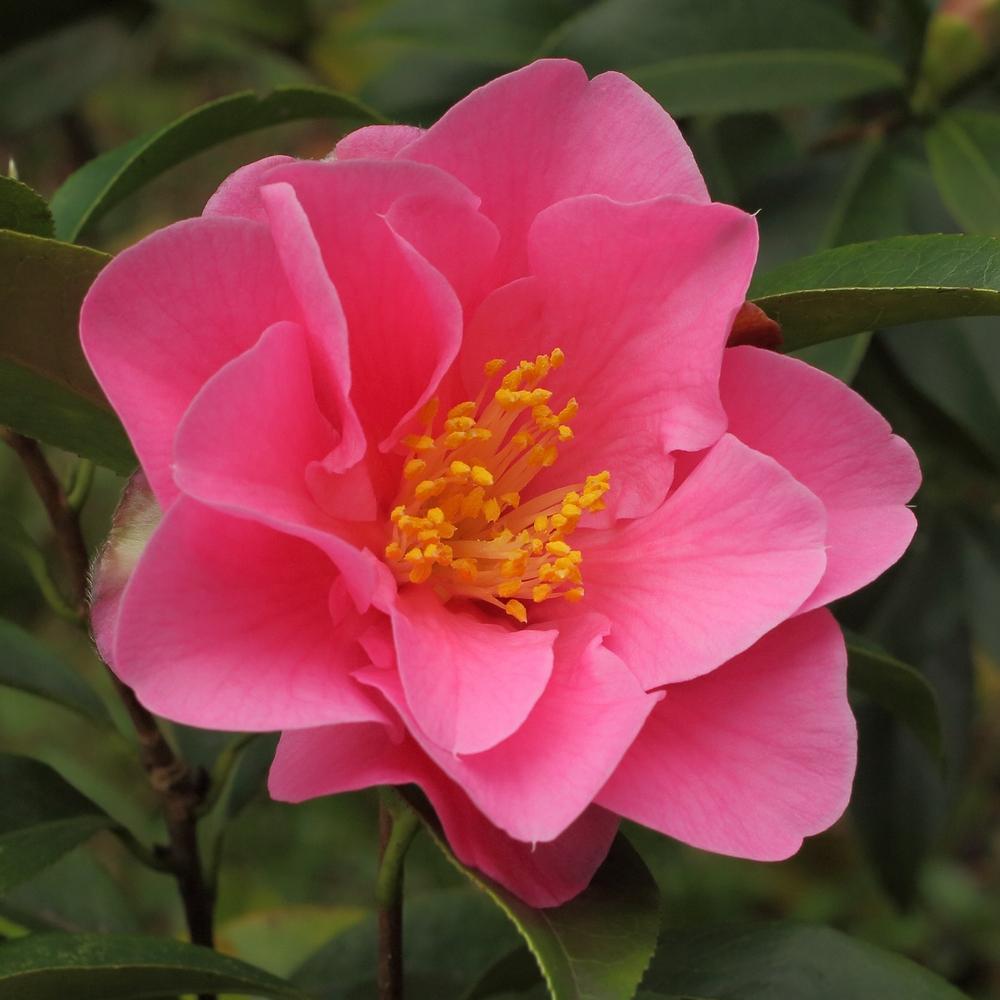Camellia hybrid 'Valley Knudsen'