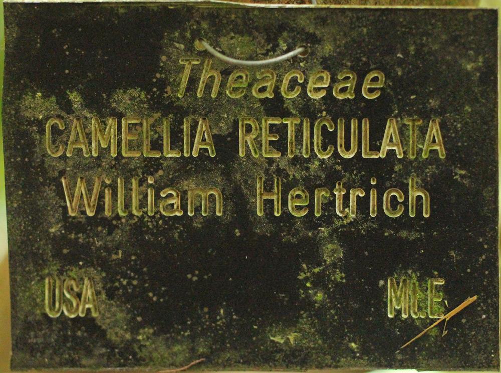Camellia reticulata 'William Hertrich'