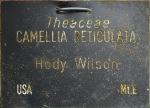 Camellia reticulata 'Hody Wilson'