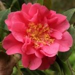 Camellia hybrid 'Francie L'