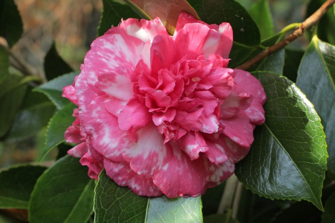 camellia-daikagura-2