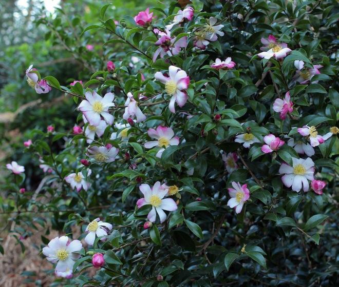 camellia-navajo-6