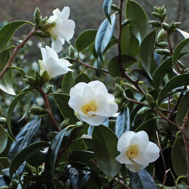 camellia-shiro-wabisuke