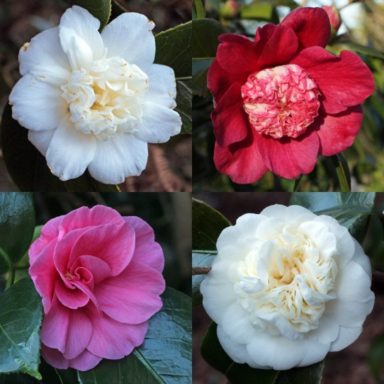 early-camellias