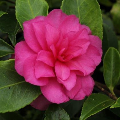camellia-chansonette