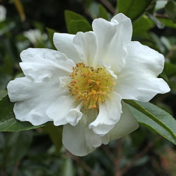 camellia-kenkyo-2